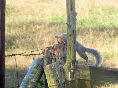 Squirrel looking in rotten fence post.