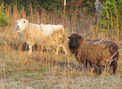 Coconut and Papaya, two of our Shetland ewe sheep, with frosty fleece.
