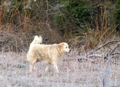 Neffie, our Maremma sheep dog