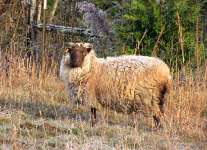Valrhona, Shetland ewe sheep, with moorit colored frosty fleece.