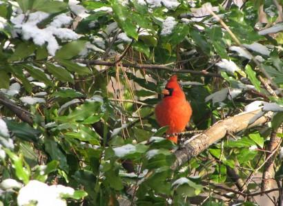 Male Cardinal Bird on Cherry Laurel tree.