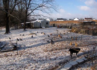 Snow and poultry in the backyard.