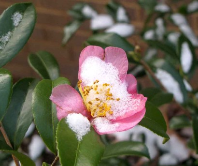 Camellia 'Winter Star' with snowy blossom.