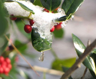Holly with ice drop.