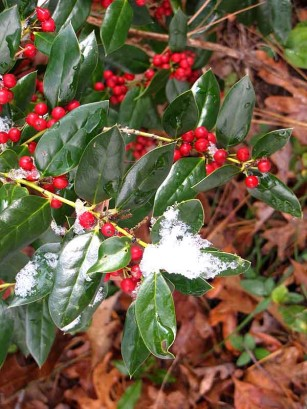 Holly and snow.