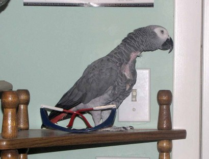 African Grey parrot pretending to be a statue on a shelf.