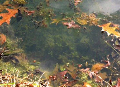 Underwater pond plants with fallen leaves floating on surface.