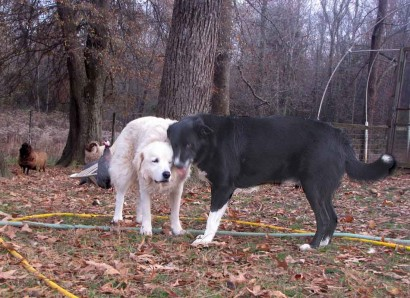 Maremma sheepdog and American Farm Collie.