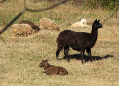 Shetland sheep, Maremma, llama and doe goat.