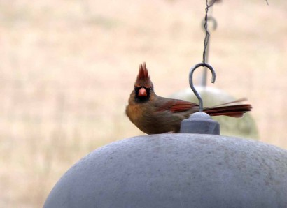 Wild bird - immature male Cardinal.