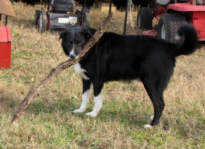 American Farm Collie, Toby.