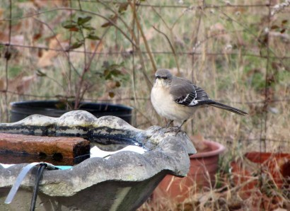 Northern Mockingbird at Southern Birdbath.