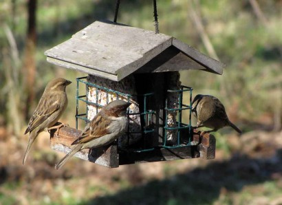 Wild birds at suet feeder.