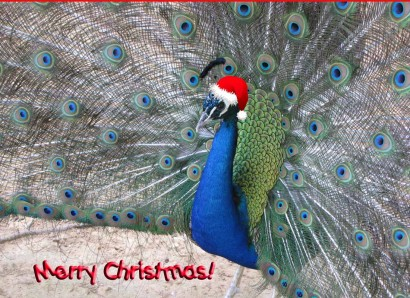 Merry Christmas Peacock!
