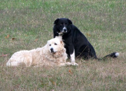 Maremma Sheepdog and American Farm Collie