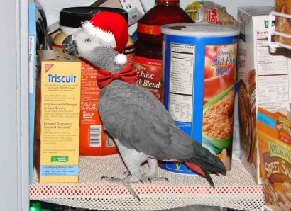 Christmas African Gray Parrot