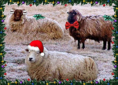 3 Christmasy Shetland Sheep Ewes