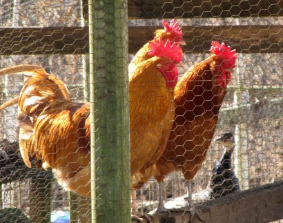 Three Red Roosters
