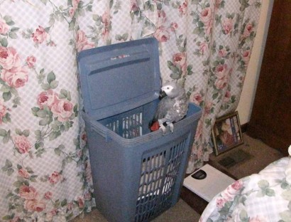 African Grey Parrot sitting on a clothes hamper.