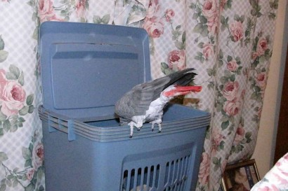 African Grey Parrot looking in hamper.