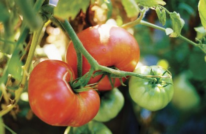 Brandywine Tomato from Landreth Seed Co.