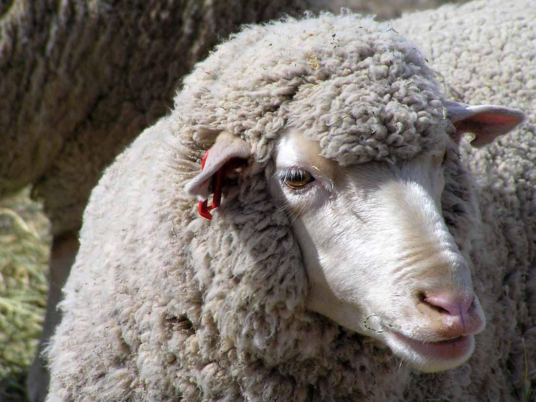 Dohne Sheep In Australia | Rural Ramblings...