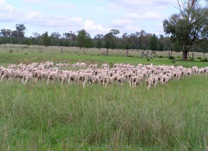 Mustering Dohne Lambs