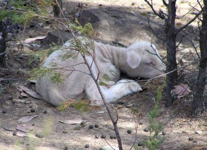 Sleeping Dohne lamb at Homebush in Australia