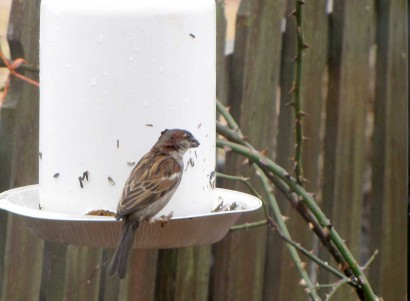 House Sparrow (Passer domesticus) eating sunflower seeds.