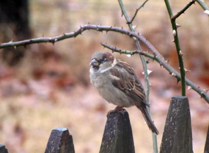 House Sparrow (Passer domesticus), also called English Sparrow, on fence post.