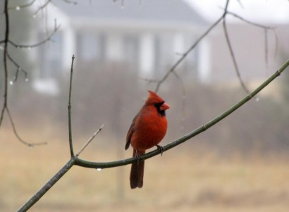 Cardinal on a branch.