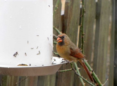 Female cardinal at bird feeder.