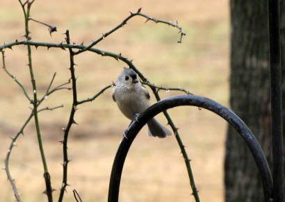 Tufted Titmouse bird (Parus bicolor) in the rain.