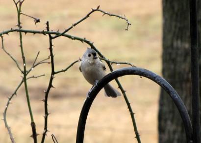 Tufted Titmouse bird (Parus bicolor) in the rain.