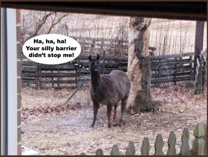 Llama Keira in the back yard.