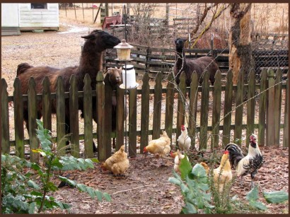 Samson, our male llama, eating from the bird feeder.