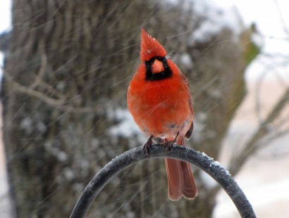Cardinal bird in snow storm.