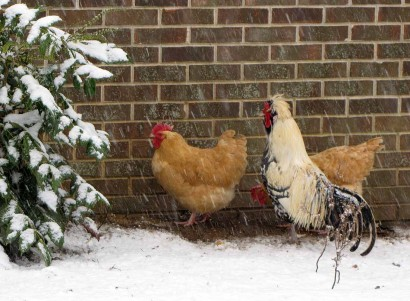 Chickens, hens and rooster, in the snow.