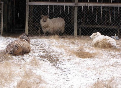 Three Shetland ewe sheep.