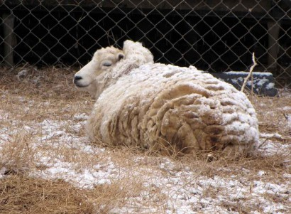 Snow on white Shetland sheep ewe.