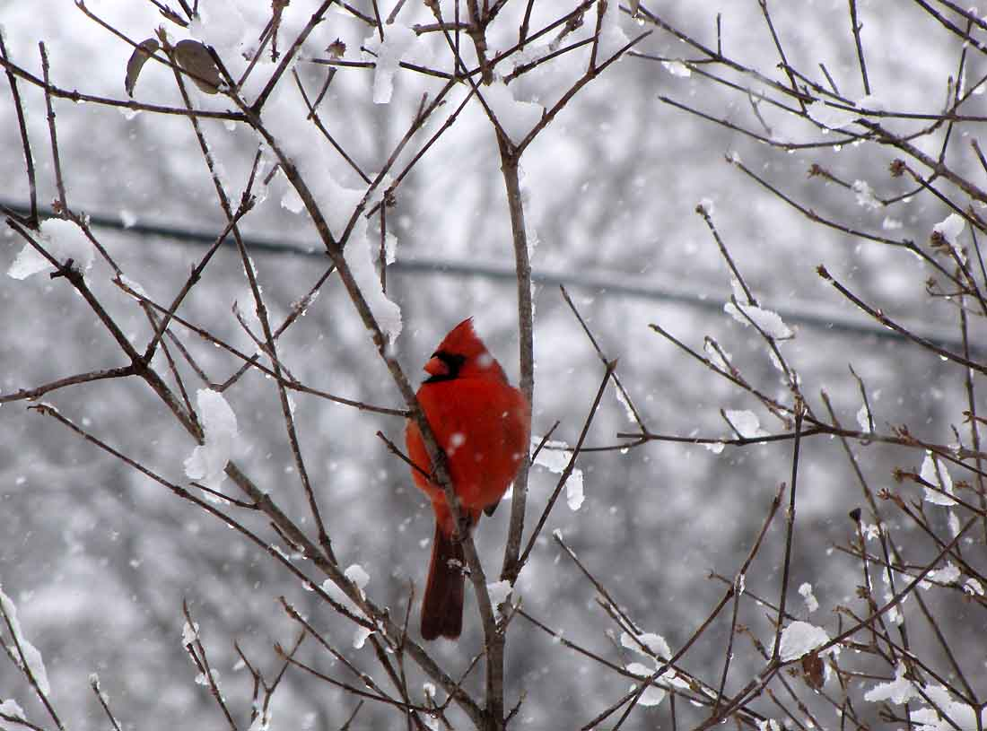 Even more weather changes rural ramblings - Pictures of cardinals in snow ...