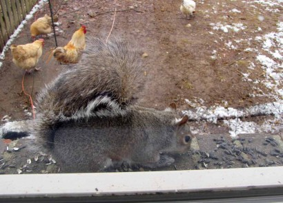 Squirrel eating sunflower seeds on windowsill.