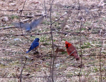 Pair of bluebirds with cardinal.