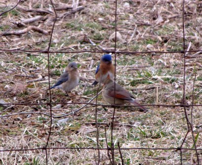 Eastern Bluebirds (Sialia sialis) and female Northern Cardinal (Cardinalis cardinalis)