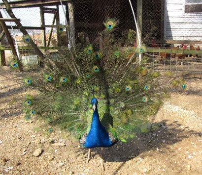 Peacock strutting.