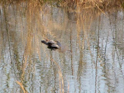 Turtles on log in pond.