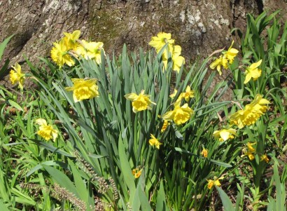Narcissus in bloom