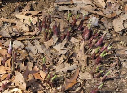 Hostas in spring
