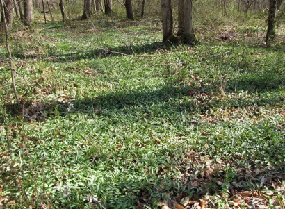 Bed of Trout Lily (Erythronium americanum) in the woods.