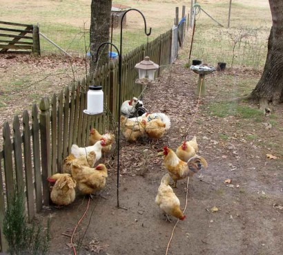 Roosters and hens under bird feeder.